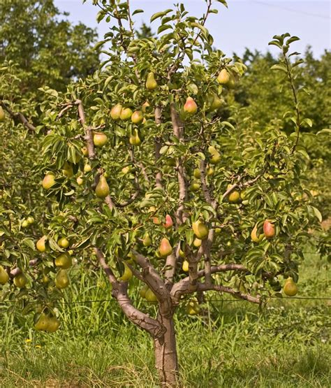 pear tree non fruit bearing flowering varieties of pear trees you ll want for your garden
