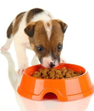 when do puppies start puppy food caring feeding and raising orphaned puppies without the canine vetwest