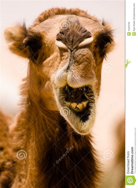 camel smile stock photography image