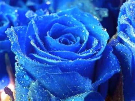 imagenes de flores azules image gallery imagenes de rosas azules