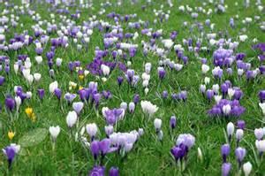 Garden Grass Types - buy dutch crocus bulbs crocus pickwick delivery by crocus