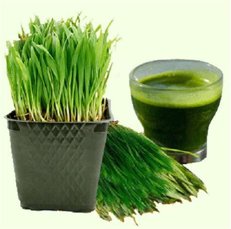 Sekam Bakar Yang Bagus cara menanam wheatgrass hidroponik tanpa tanah maupun