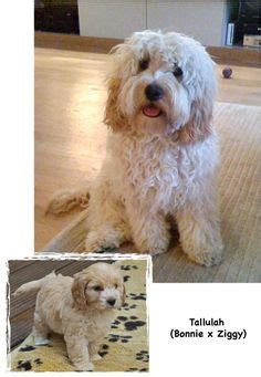 rosedale doodles puppies for sale 1000 images about dogs on poodle mix search