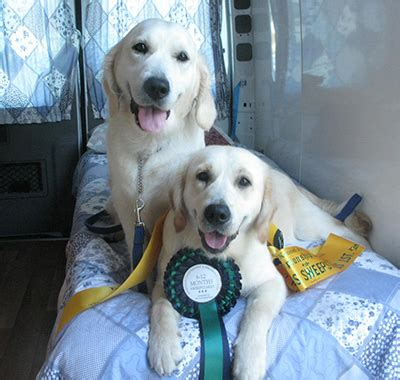 retired show dogs for adoption golden retriever retired show golden retriever for sale breeds picture