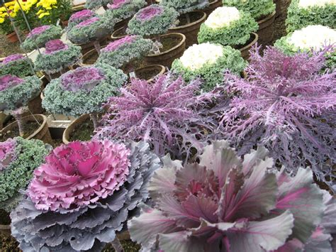 decorative cabbage kale plants a j rahn greenhouses ornamental cabbage and kale