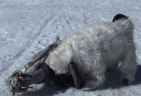 chubbs the pug chubbs the pug in a wa costume strikes back the