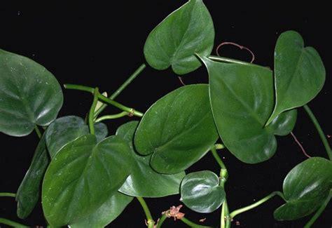 imagenes de hojas verdes solas plantas de interior decoraci 243 n del hogar