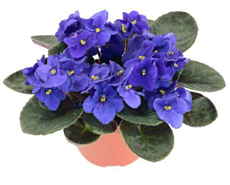 african violet african violet saintpaulia my house plants