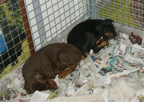 doberman puppies wisconsin file two doberman pinscher puppies in animal expo jpg wikimedia commons