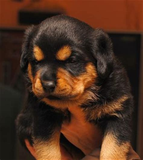 baby rottweiler for sale cheap rottweiler information and pictures rottweilers rottie rotties rachael edwards