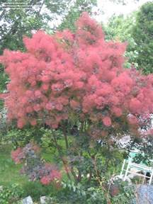 plantfiles pictures smoke tree royal purple cotinus