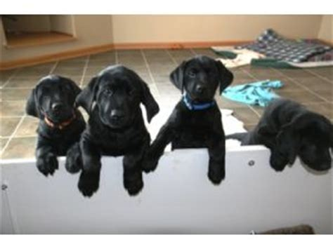 black lab puppies for sale wi labrador retriever puppies in wisconsin
