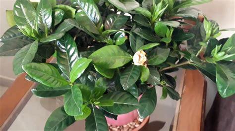 alaanay bnbat aljardynya gardenia care tips kl alnkat