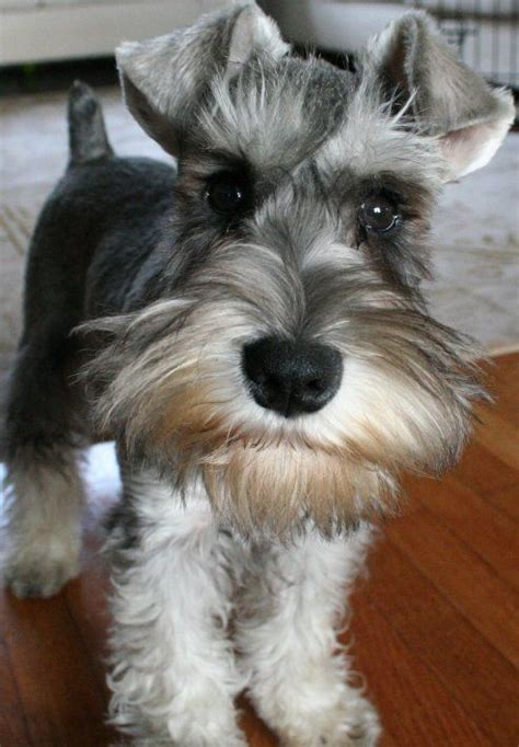 asian style schaunzer hair trim oh to own a schnauzer again there is always