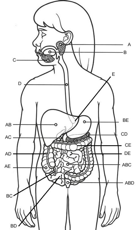 11 Best Images of Parts Of A Cow Worksheet - Digestive