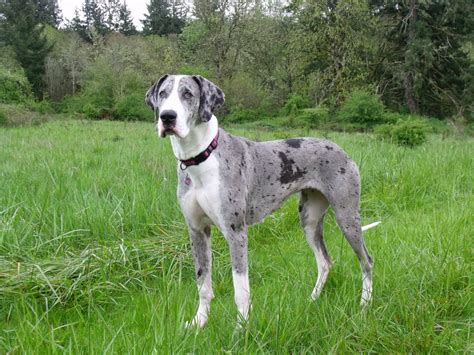 great dane colors great dane breed description history and overview