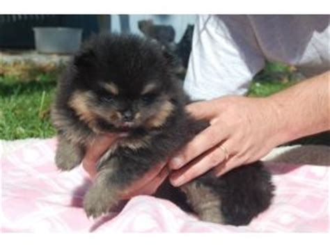 indiana pomeranian breeders black and pomeranian puppy www pixshark images galleries with a bite