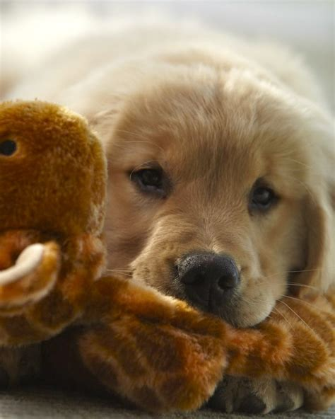 golden retrievers maine 1000 images about golden retriever pups breeders on adorable puppies