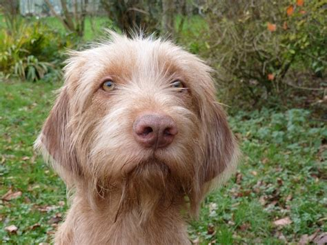 wirehaired vizsla puppies vadkacsa hungarian wirehaired vizsla breeders of legally docked puppies hwv