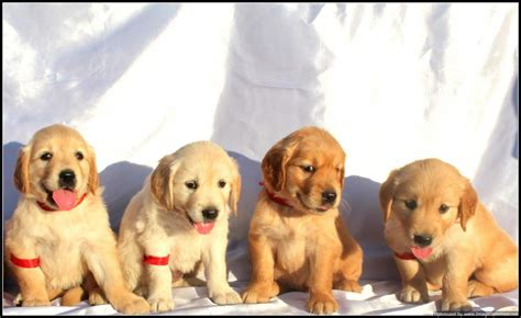 golden retriever price india golden retriever price in indiagolden retriever puppy for sale in breeds picture