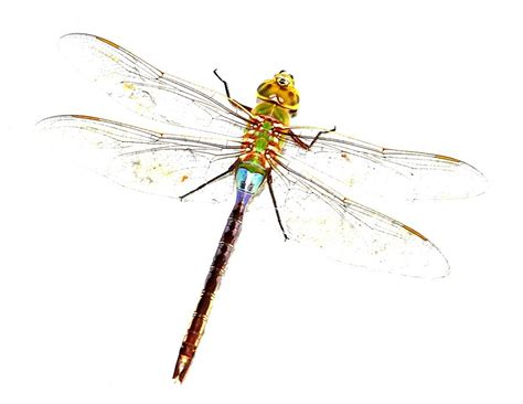 dragonfly clipart dragonfly clipart cliparts and others inspiration
