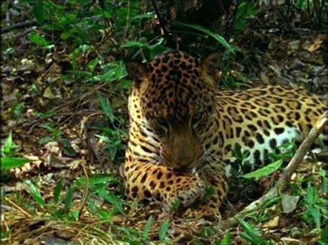 jaguar paw forest jaguar rainforest central america sd stock