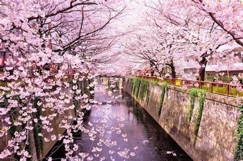 fiori di ciliegio giappone fiori di ciliegio in giappone