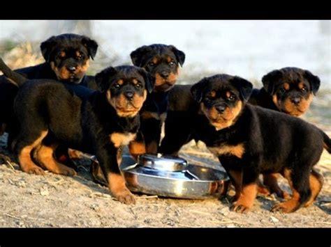 rottweiler puppies 1 week rottweiler puppies 7 weeks