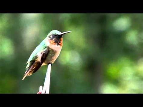 hummingbird sounds up close youtube
