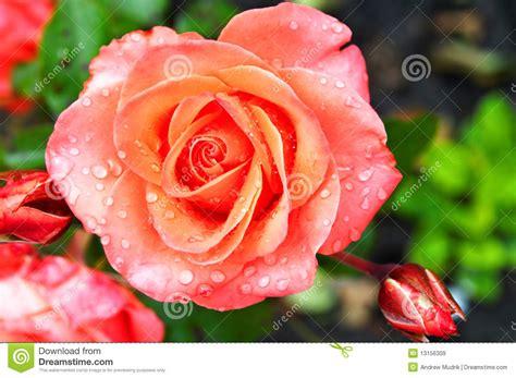 Imagenes De Rosas Frescas | rosas frescas hermosas im 225 genes de archivo libres de