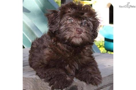 havanese puppies for sale bay area chocolate havanese puppies chocolate havanese chocolate havanese puppy chocolate