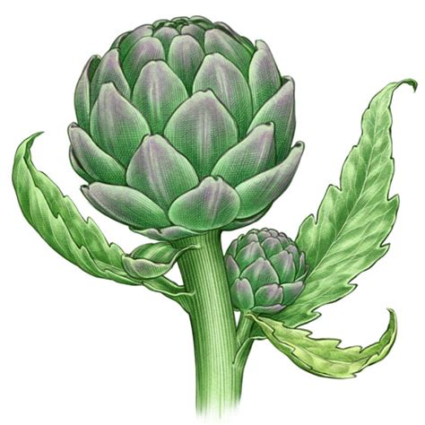 growing artichokes organic gardening mother