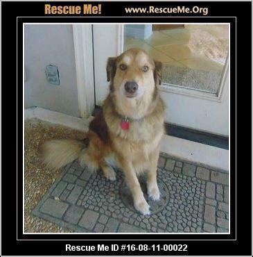 washington golden retriever rescue washington golden retriever rescue adoptions rescueme org