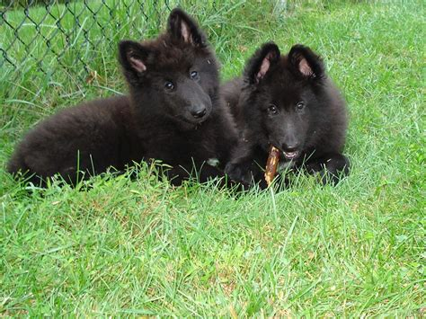 sheep puppies belgian sheepdog
