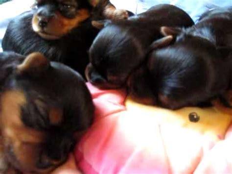 yorkie puppies 2 weeks 011210 2 week riccio yorkie puppies