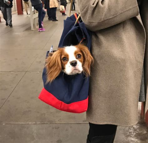 Dogs That Fit In Your Purse by New York Subway Bans Dogs Unless They Fit In A Bag So