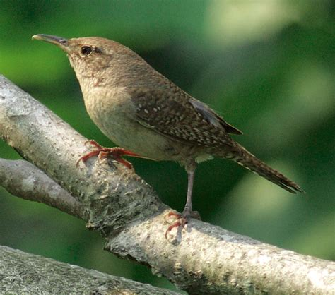 house wren bird 1000 images about birds spotted in tobago on pinterest scarlet south america and