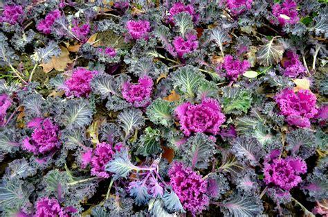 ornamental cabbage free stock photo public domain pictures - Ornamental Cabbage Pictures