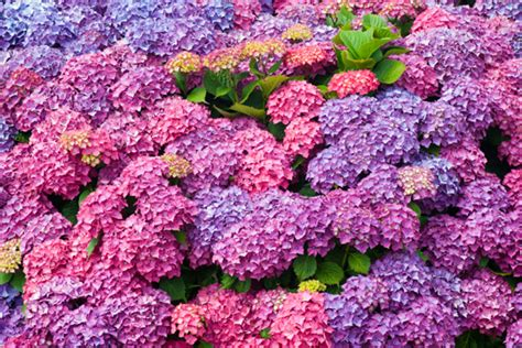 best conditions for growing hydrangeas landscapers seva call blog