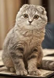 chat scottish fold tout sur la race de chat scottish fold