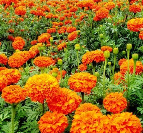 Tanaman Marigold Orange cara menanam bunga marigold dari biji bibitbunga