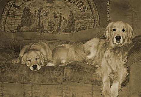 golden retrievers for sale in pa golden retriever for sale in erie pa photo