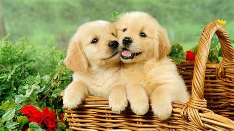 where to find golden retriever puppies really puppies golden retriever