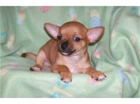 chihuahua puppies for sale in ky chihuahua puppies in kentucky