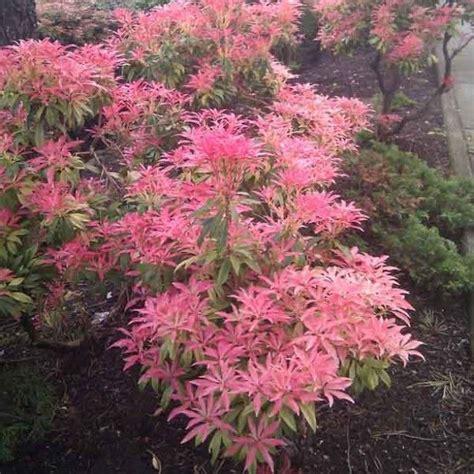 Arbuste Fleuri Feuillage Persistant by Les 25 Meilleures Id 233 Es Concernant Arbustes 192 Feuillage