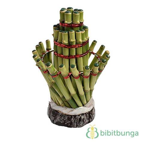 Tanaman Bambu Rejeki bambu rejeki lighthouse 3t bibitbunga