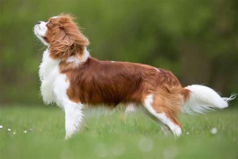 cani da appartamento consigli le 30 razze canine pi 249 docili adatte a vivere in
