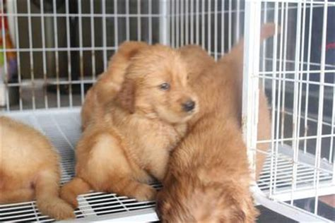 golden retriever big bone golden retriever puppies sold 1 month big bone golden retriever puppy from subang