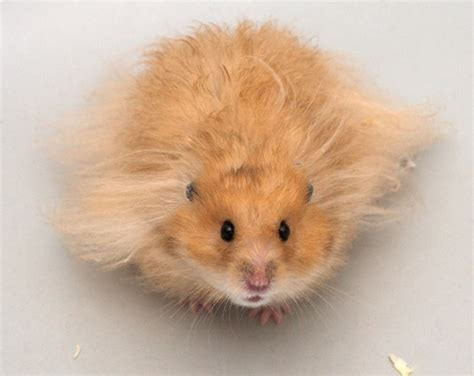 7 Tips On Taking Care Of Hamsters by Hamster Care Tips Hamsters As Pets