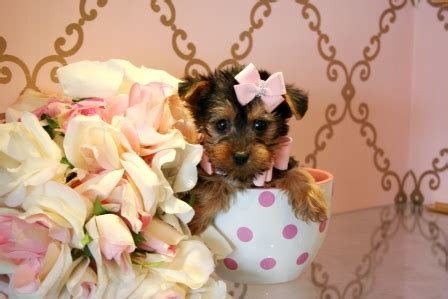 teacup puppies fort lauderdale teacup and yorkie puppies for sale fort lauderdale price 450 breeds picture